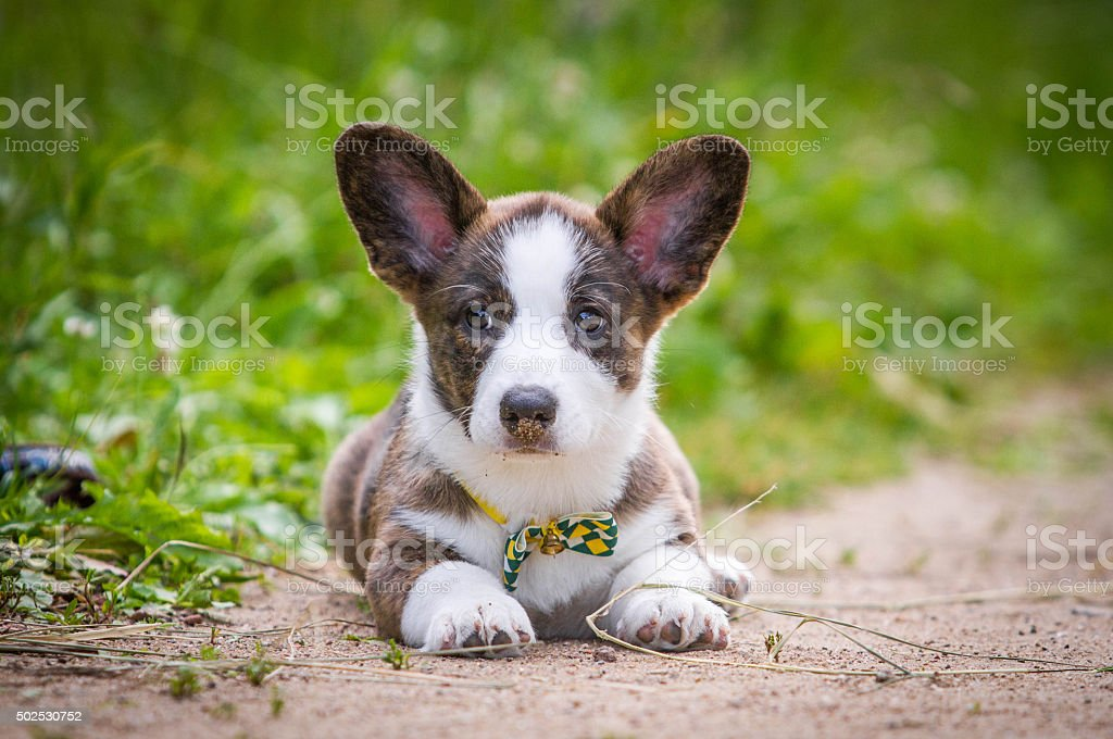 Puppy Welsh Corgi cardigan royalty-free stock photo