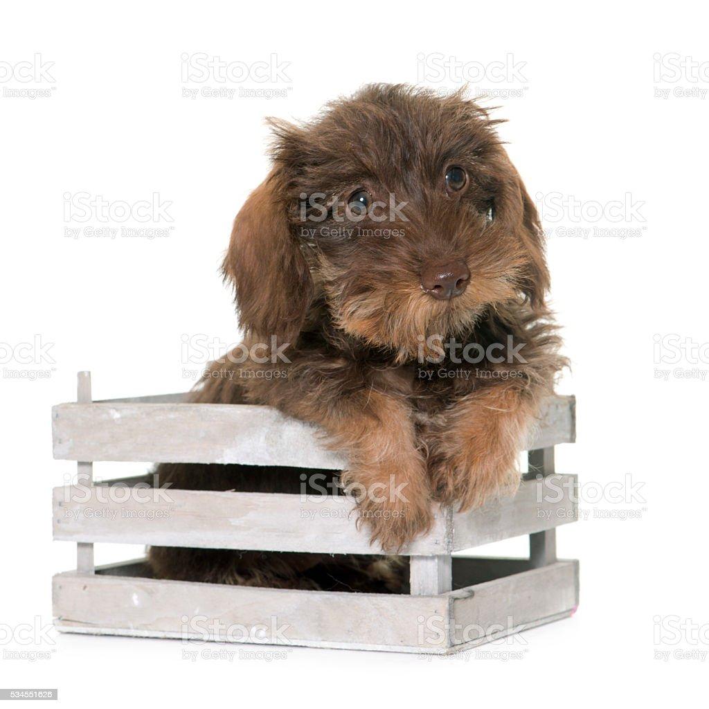 puppy Wire haired dachshund stock photo