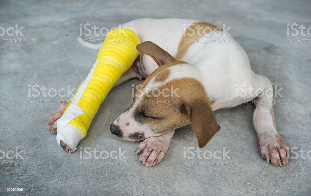 Puppy with a broken leg, splint,dog stock photo