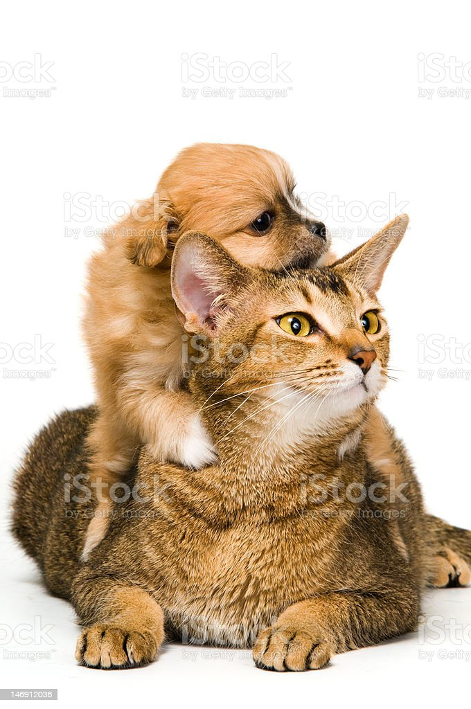 Puppy with a cat in studio royalty-free stock photo