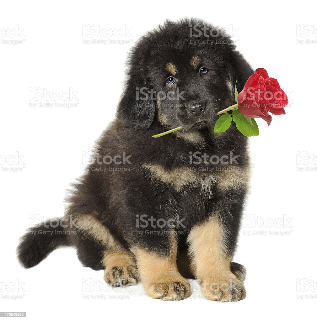 Puppy with a rose stock photo