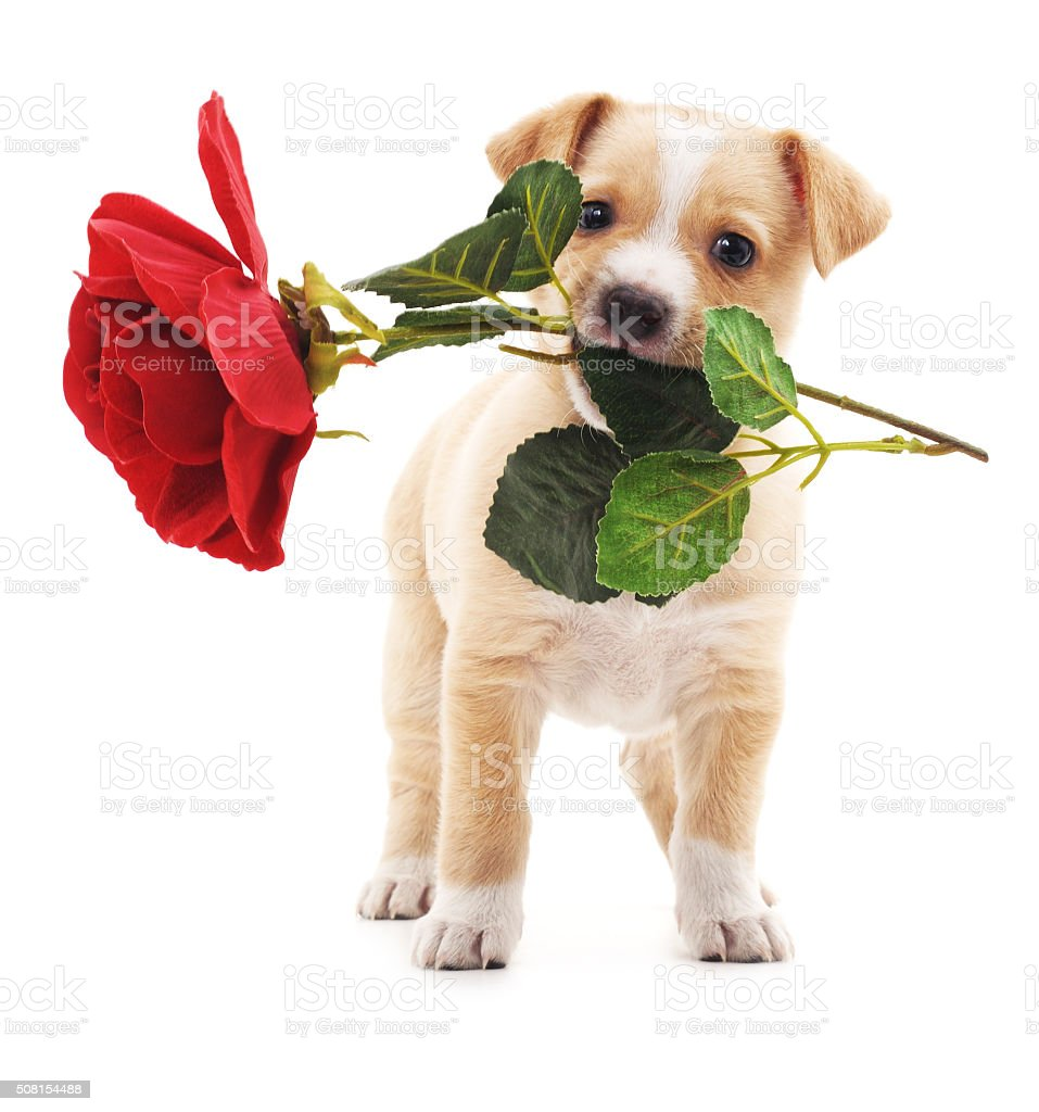 Puppy with a rose. stock photo
