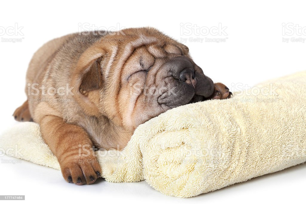 Puppy with a towel royalty-free stock photo