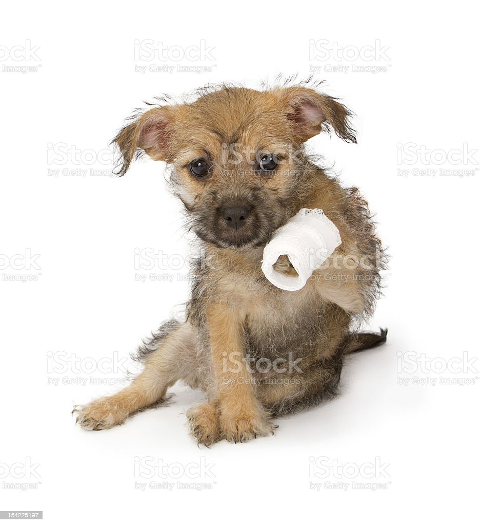 Puppy with an injured paw stock photo