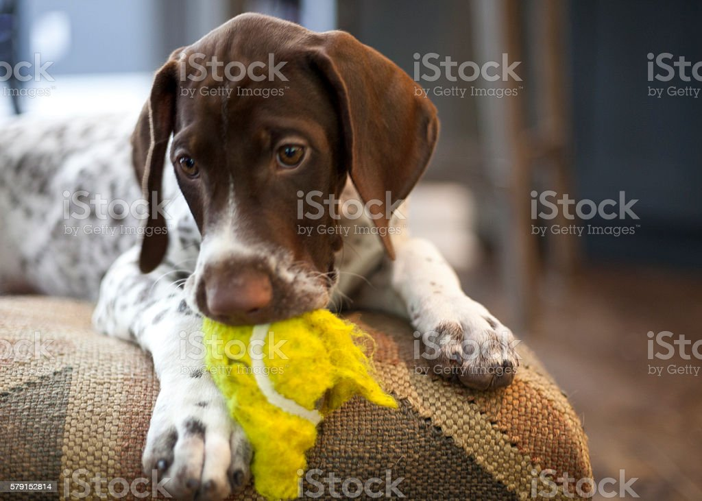 Puppy with ball stock photo
