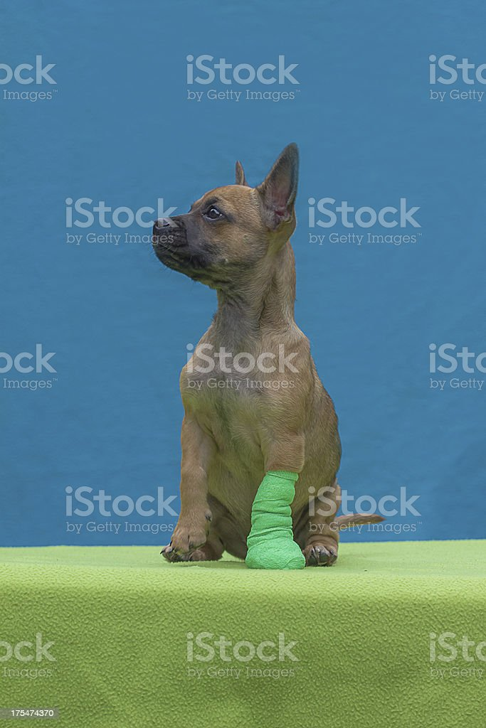 Puppy with bandage royalty-free stock photo