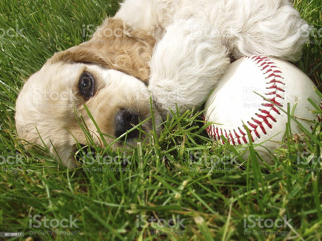 puppy with baseball stock photo