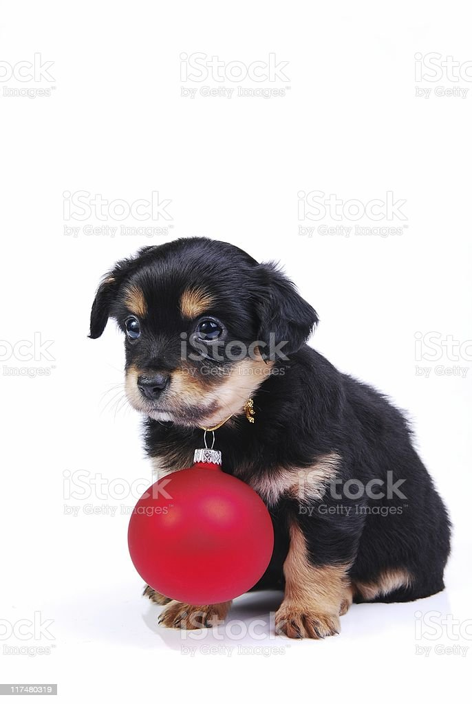 Puppy with Christmas ball royalty-free stock photo