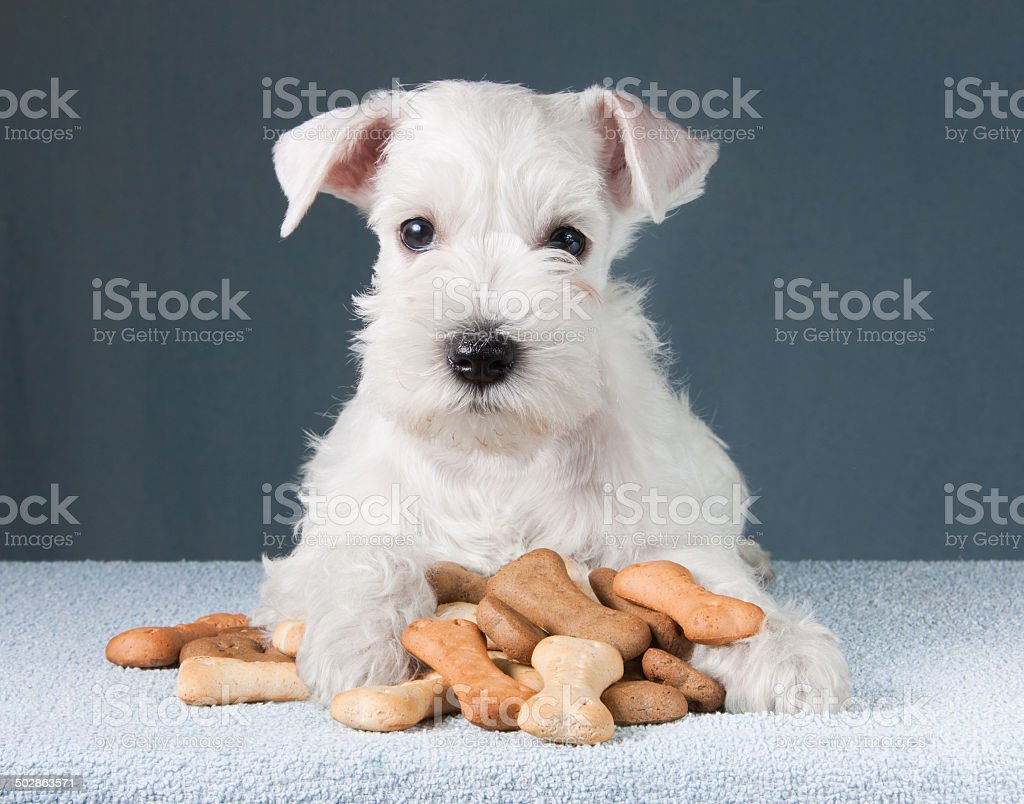 puppy with dog biscuits bones stock photo