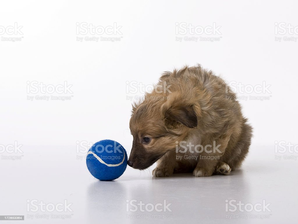 Puppy with its toy royalty-free stock photo