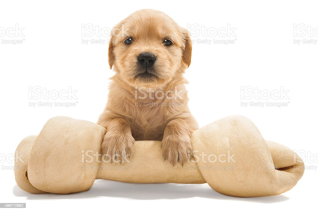 MINE!!! A puppy with large rawhide bone stock photo