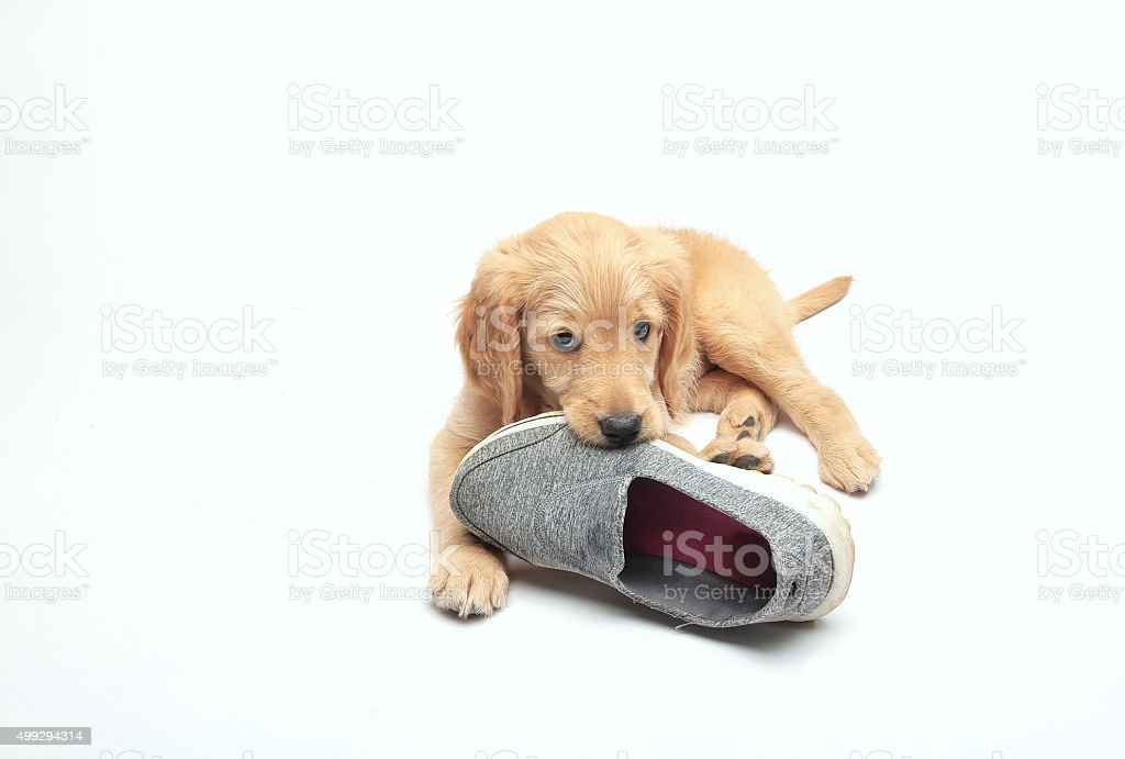 puppy with shoe slipper stock photo