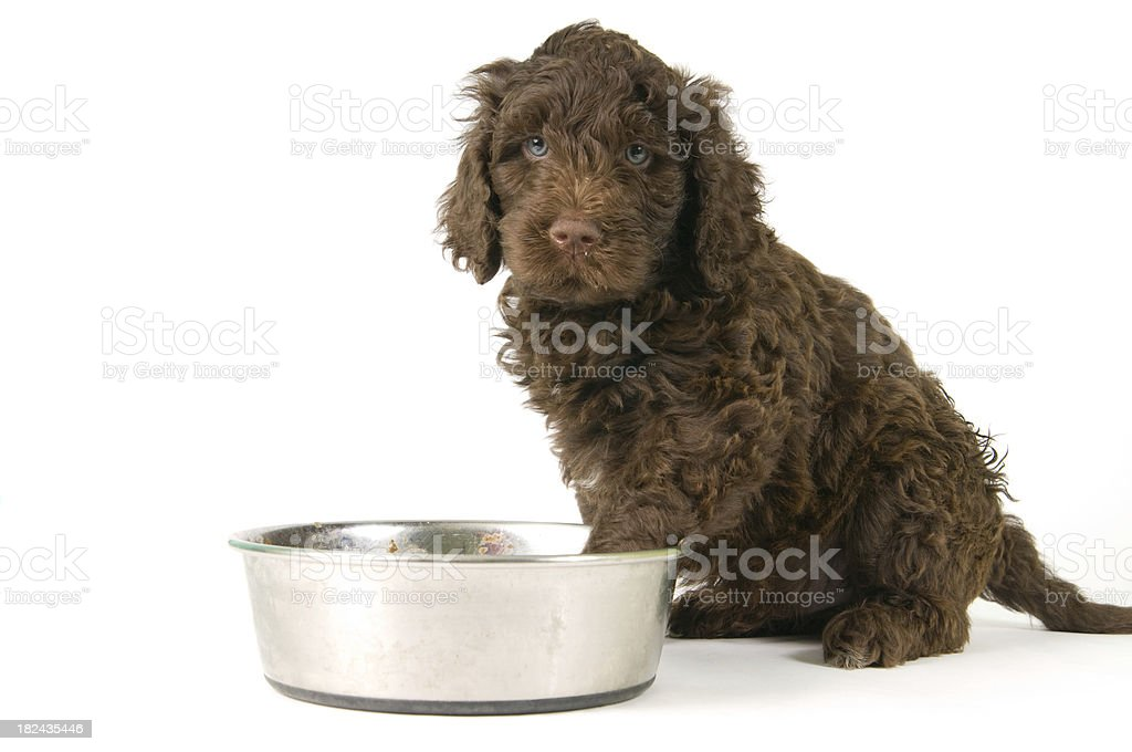 Puppy with steel bowl stock photo