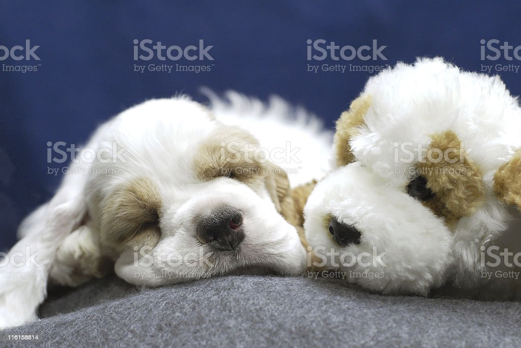 puppy with stuffed animal look alike royalty-free stock photo