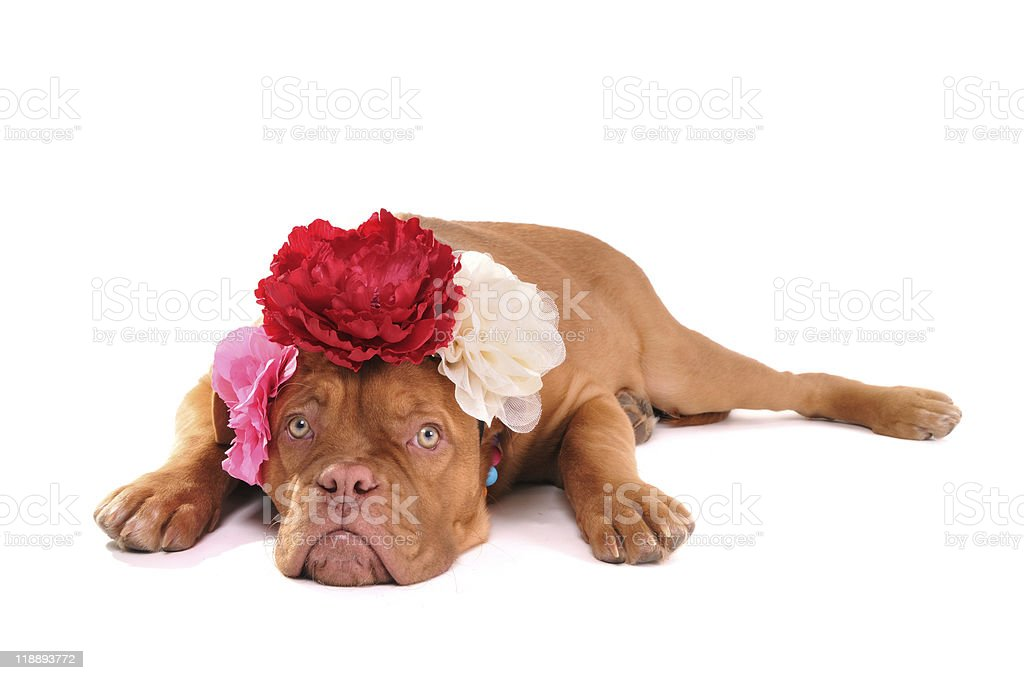 Puppy with three bows royalty-free stock photo