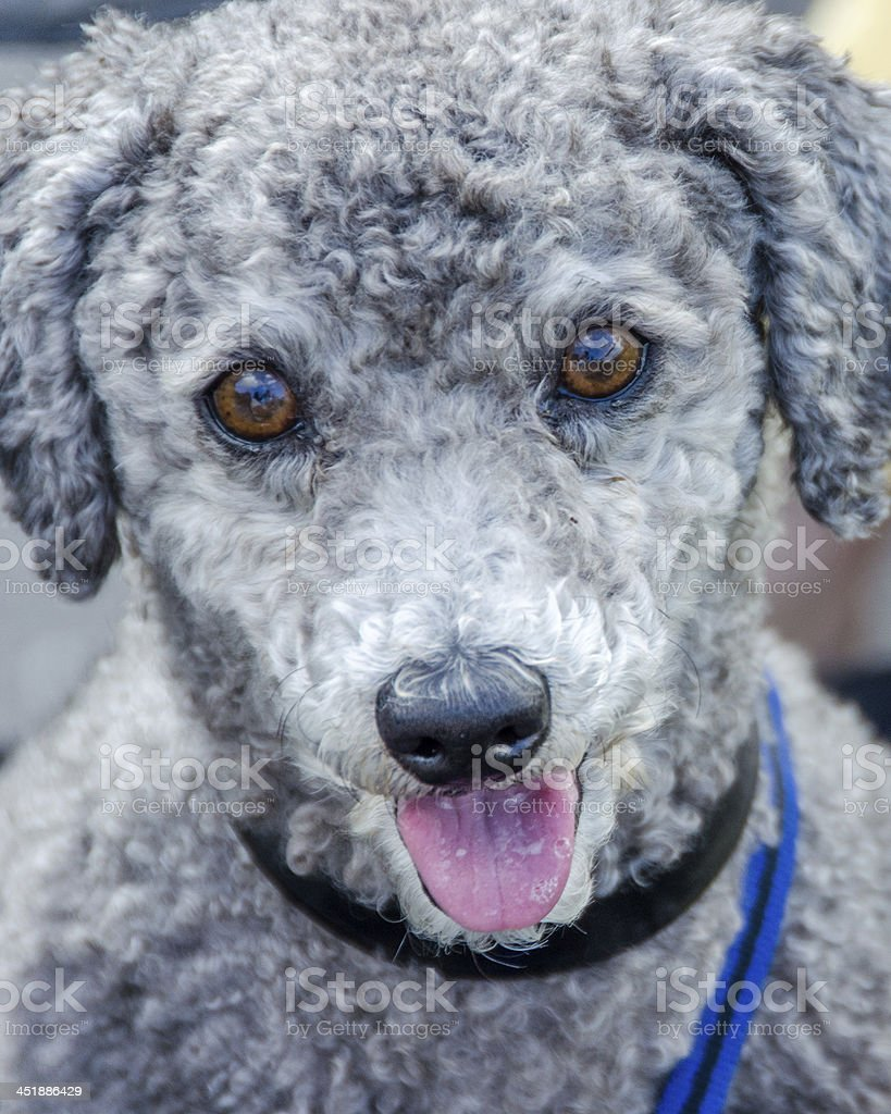 Puppy with tongue out stock photo
