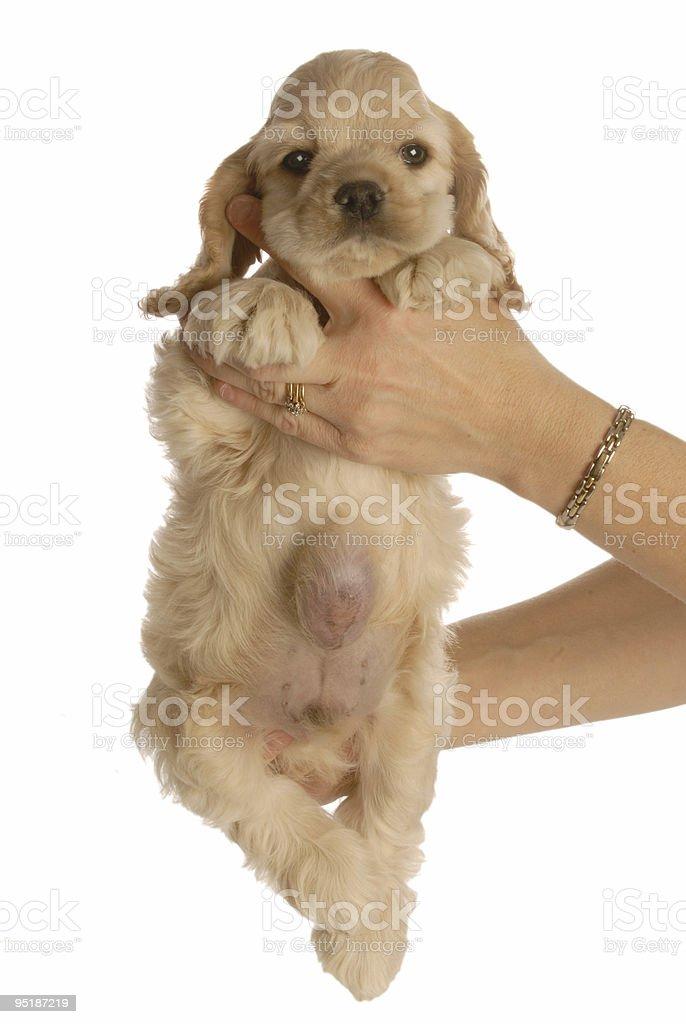 puppy with umbilical hernia royalty-free stock photo