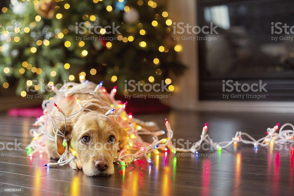 Puppy wrapped up in Christmas lights stock photo