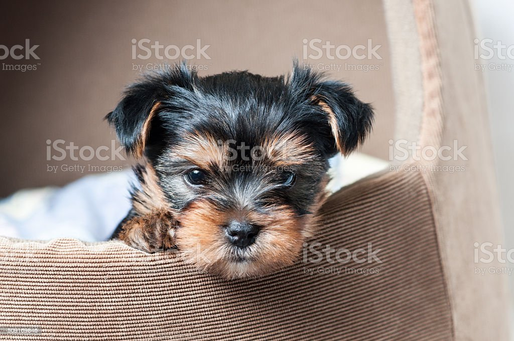 Puppy Yorkshire terrier close-up stock photo