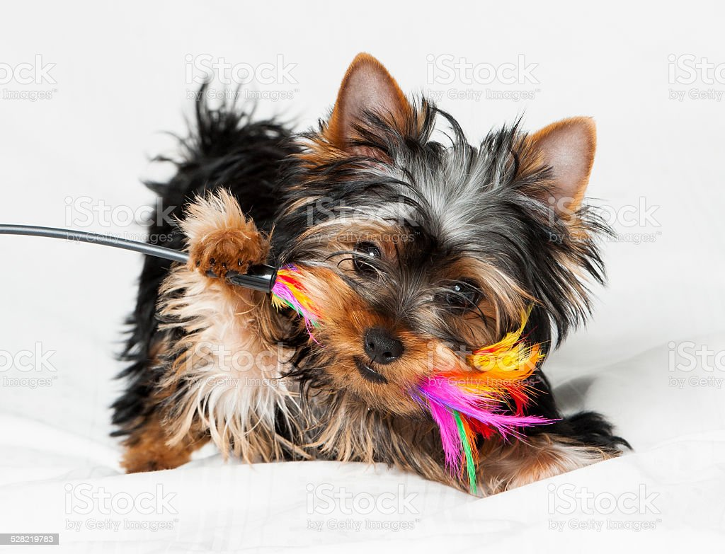 Puppy yorkshire terrier stock photo