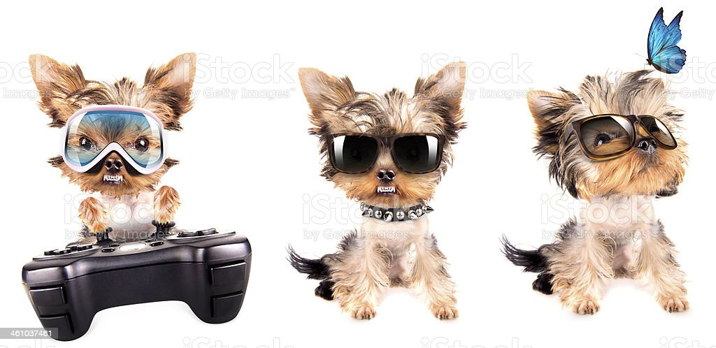 Puppy yorkshire terrier set stock photo