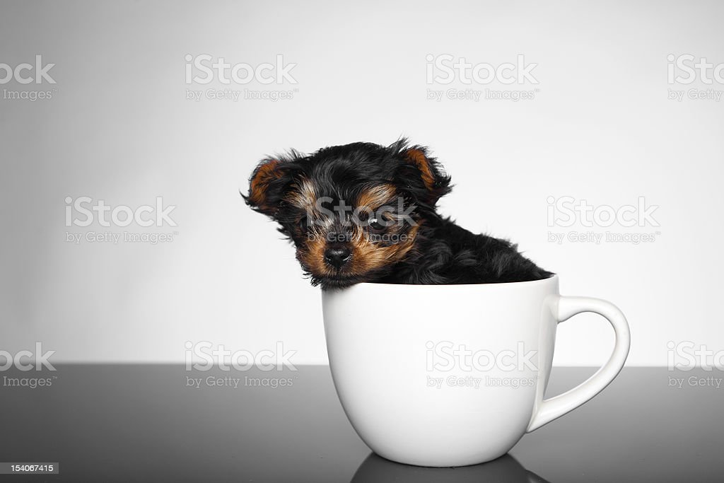 Puppy Yorkshire Terrier sitting in tea cup stock photo
