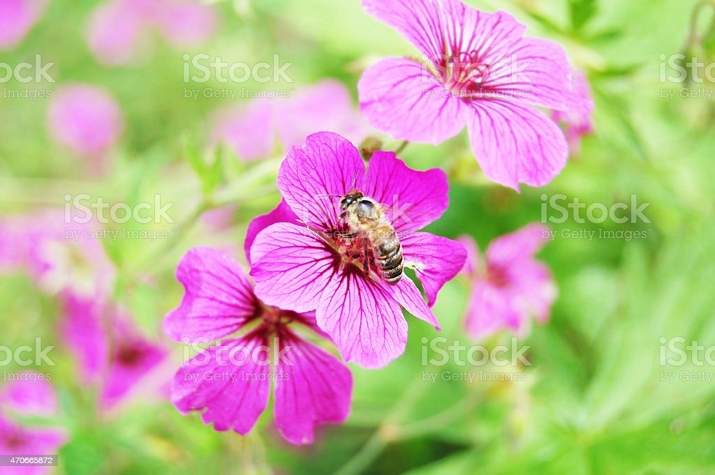 puprle malva with honey bee stock photo