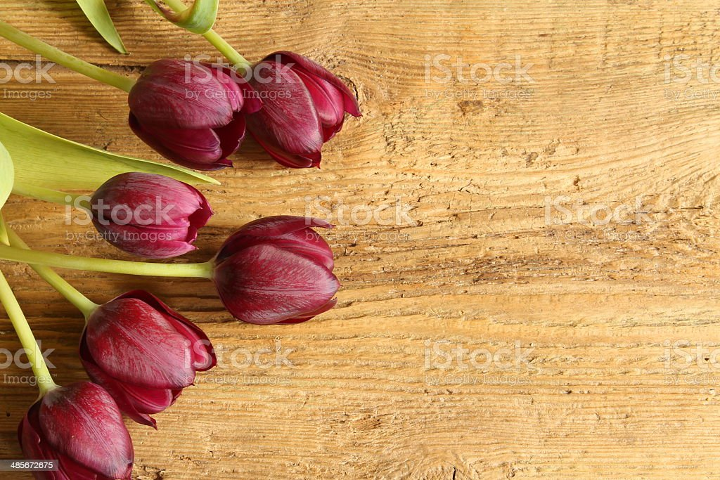 purble tulips stock photo
