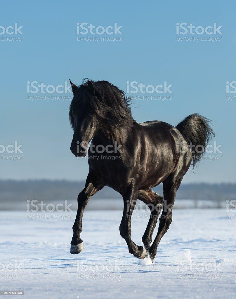 Pure Bred Spanish black stallion gallops on snow meadow stock photo