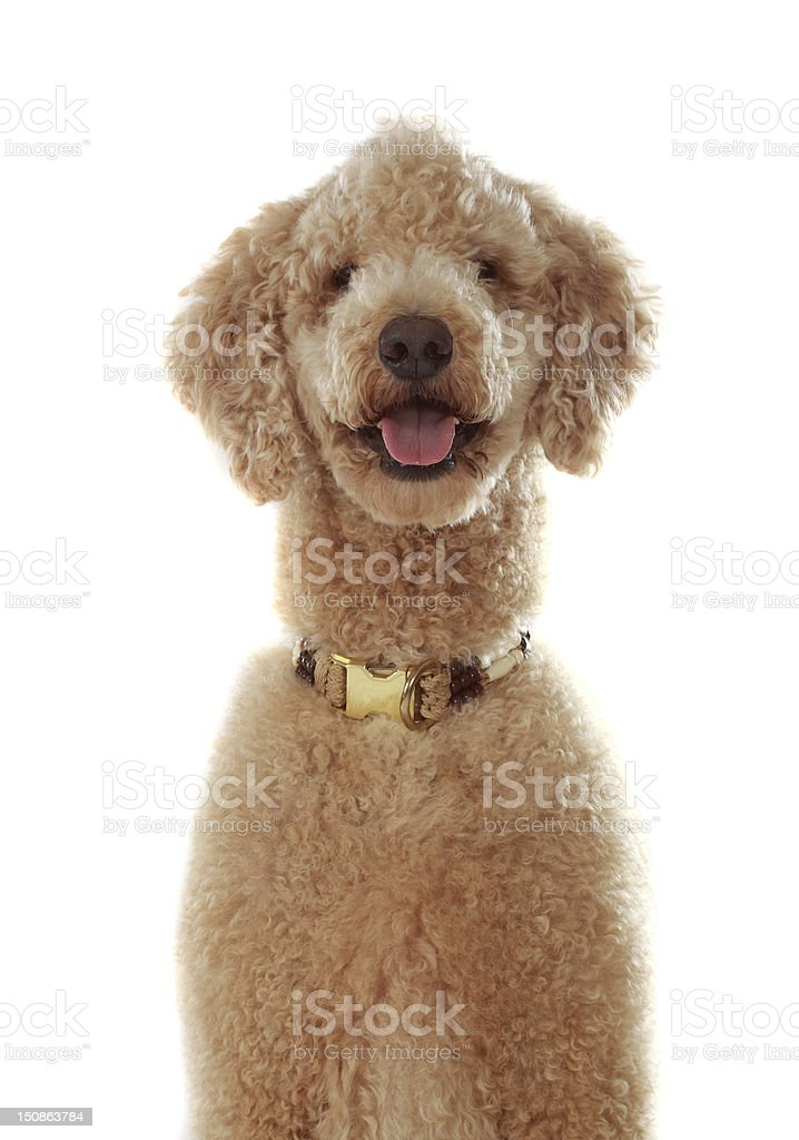 pure breed poodle stock photo