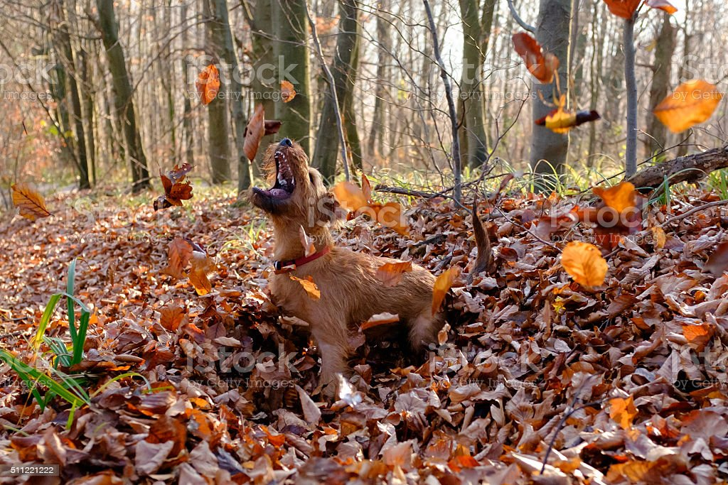 Pure Happiness - Dog playing with fallen leaves stock photo