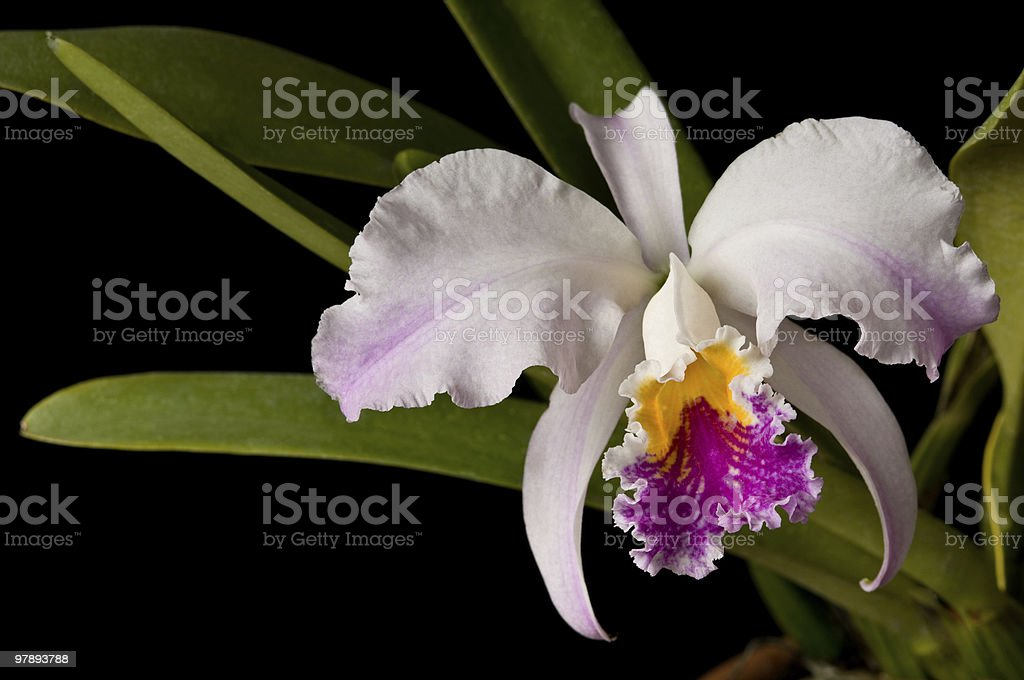 Pure light pink orchid stock photo