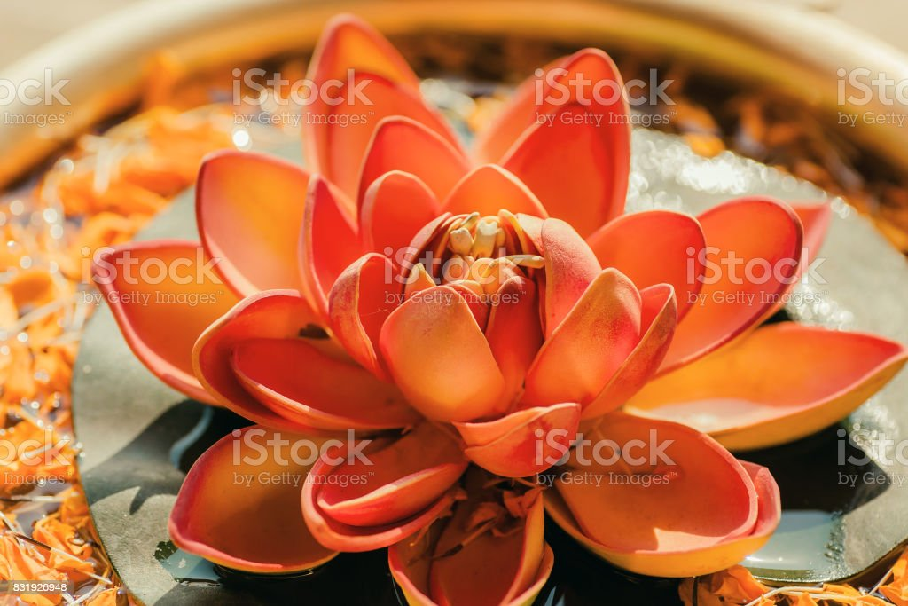 Pure Nelumbo flower known as Lotus in a copper vase. Sacred plant in Hinduism and Buddhism. stock photo