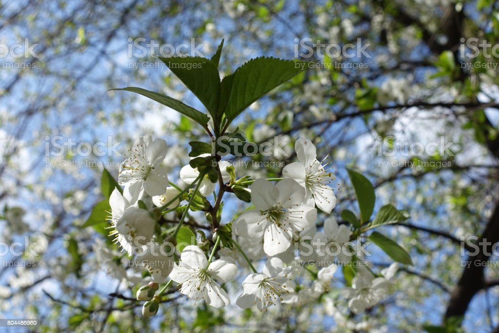 Pure white cherry blossom and green leaves stock photo