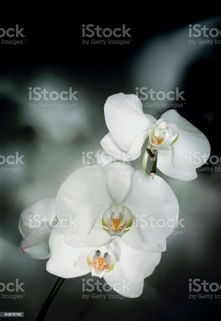 Pure White Orchids on Smoky Background royalty-free stock photo