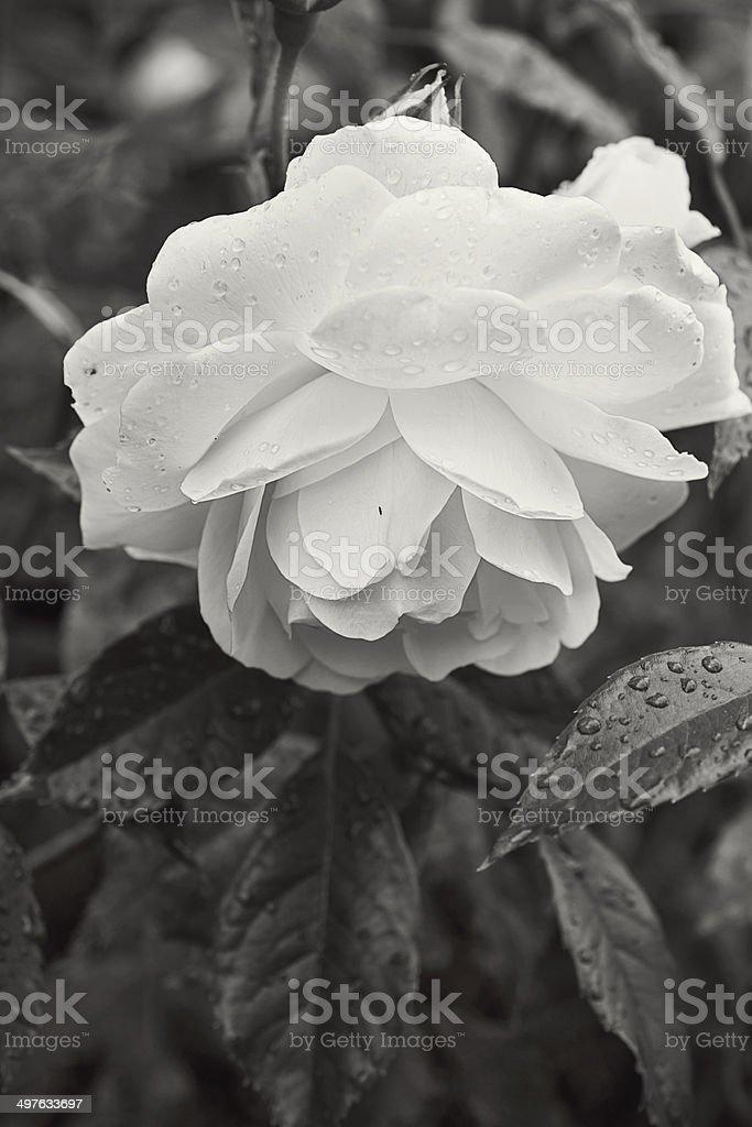 Pure White Rose stock photo