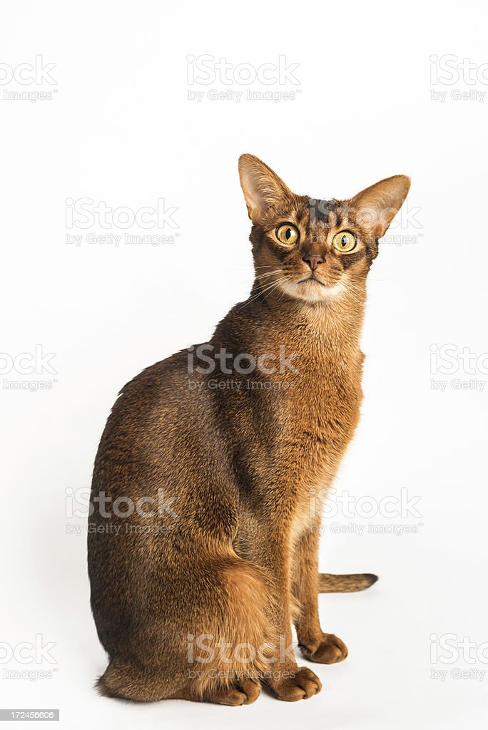 Purebred Abyssinian Cat stock photo