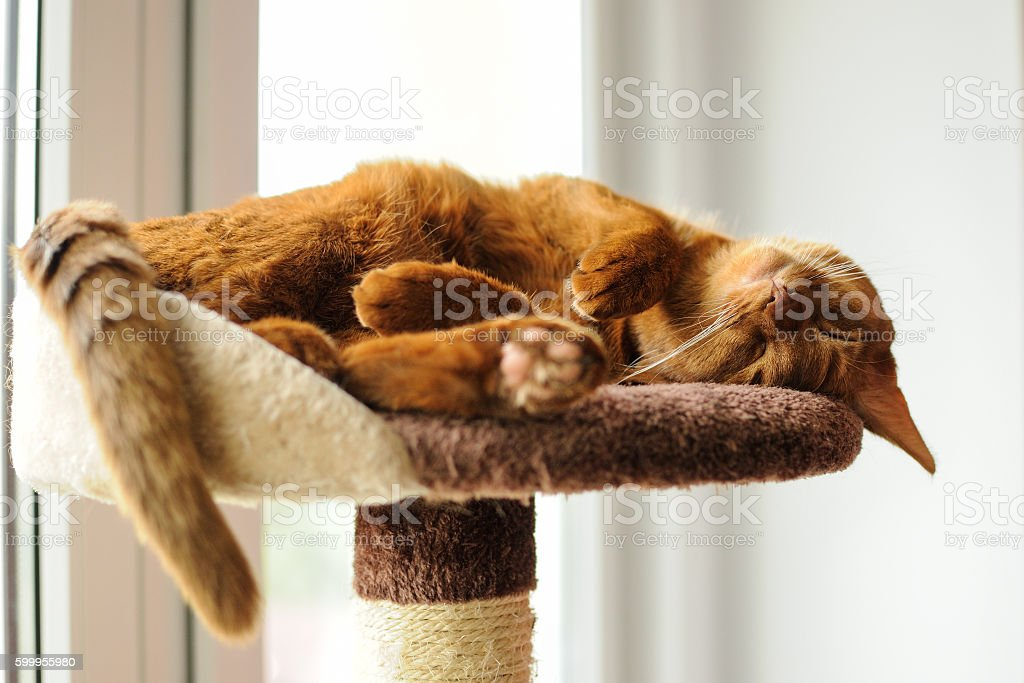 Purebred abyssinian cat sleeping on scratching post stock photo