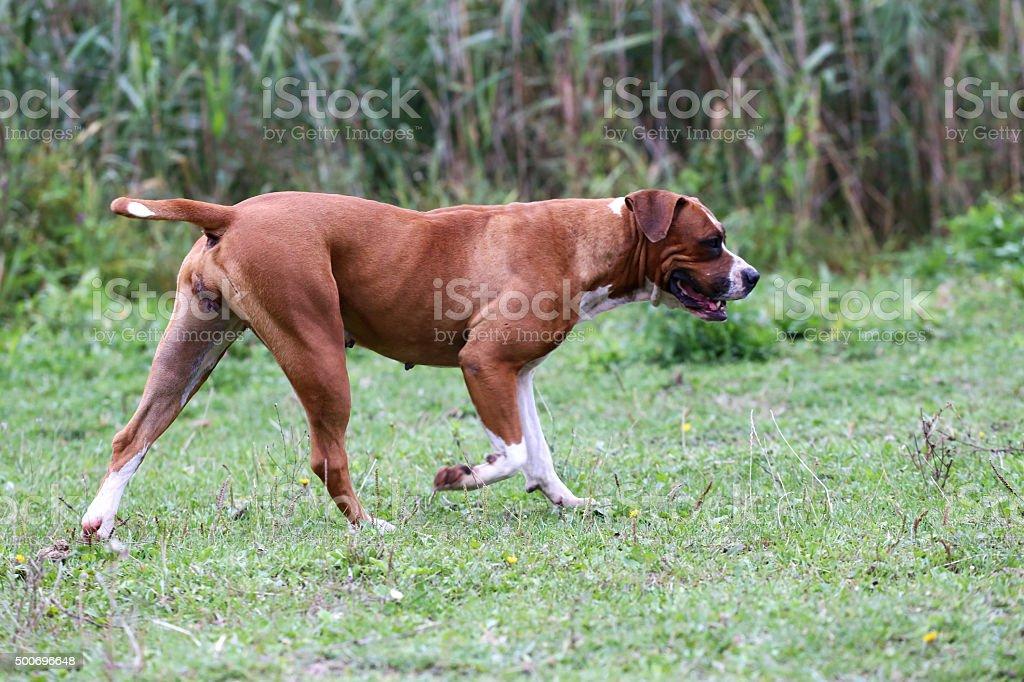 Purebred american bulldog in a rural garden stock photo