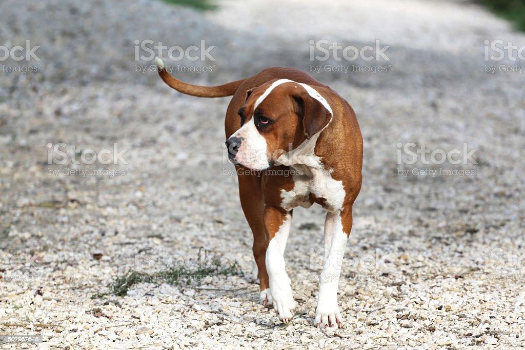 Purebred American bulldog walking in a rural garden stock photo