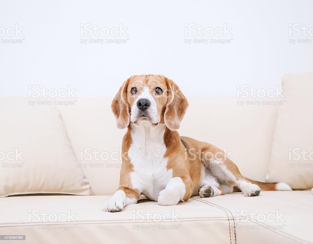 Purebred beagle lying on sofa stock photo