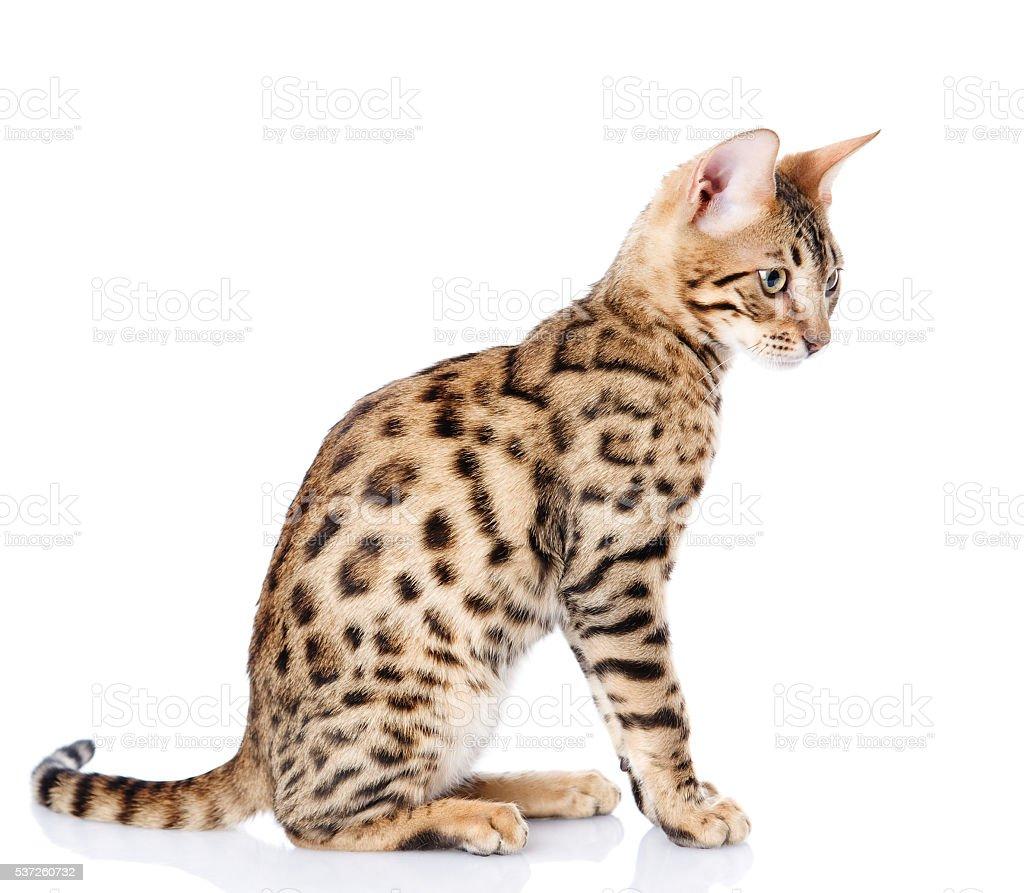 purebred bengal cat. isolated on white background stock photo