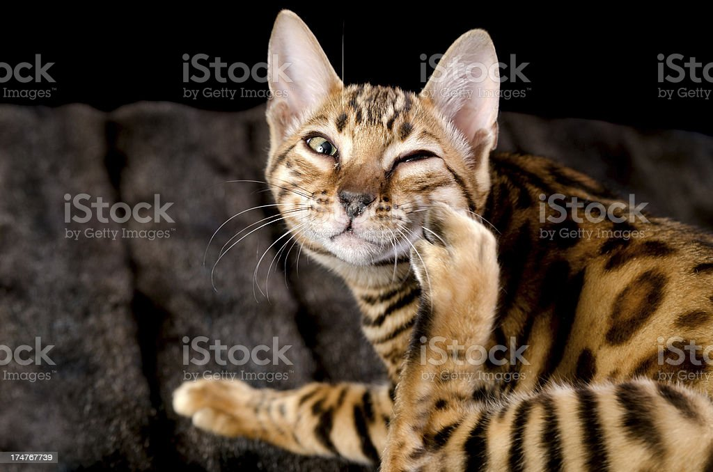 Purebred Bengal kitten scratching face. royalty-free stock photo