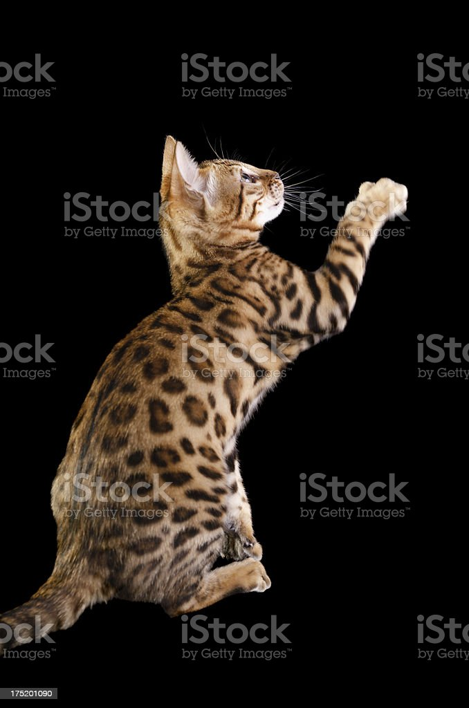Purebred Bengal kitten side view with paw raised stock photo