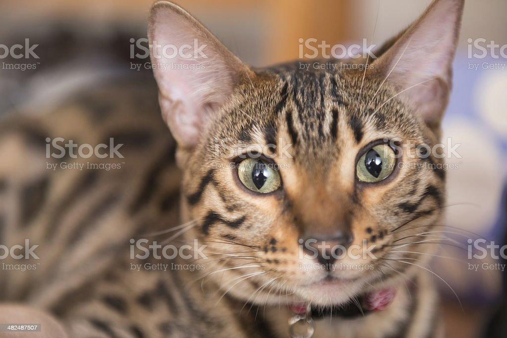 Purebred Bengal royalty-free stock photo