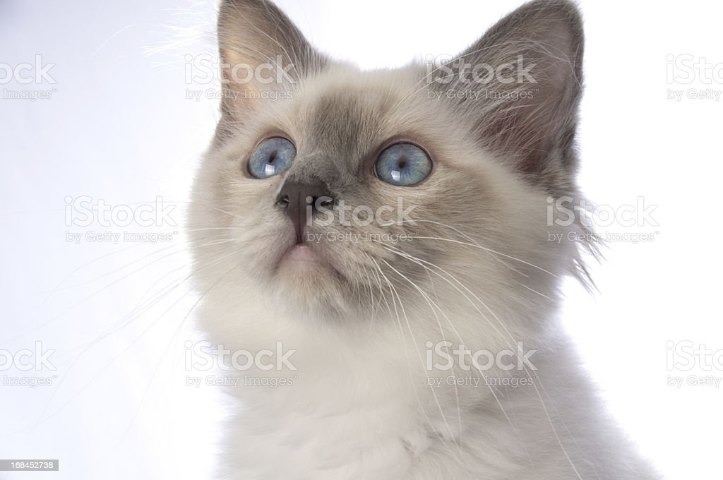 Purebred Birman Kitten looking up. stock photo