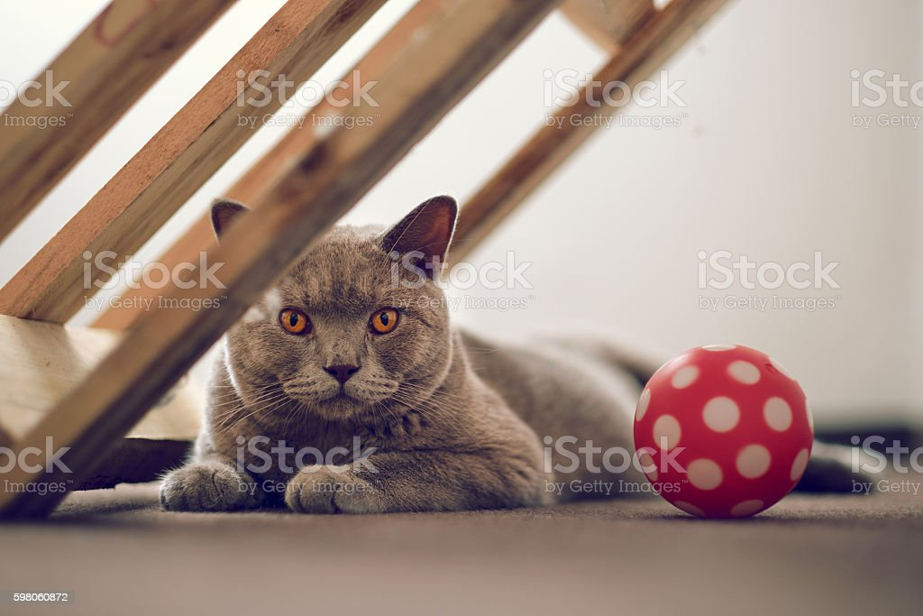 Purebred British Shorthair cat indoor portrait stock photo
