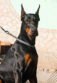 Purebred brown Doberman dog champion sitting in the  outdoors