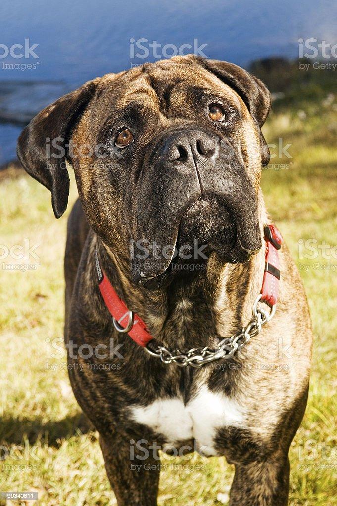 Purebred Bull Mastiff stock photo