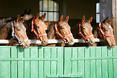 Purebred chestnut racehorses looking over the barn door